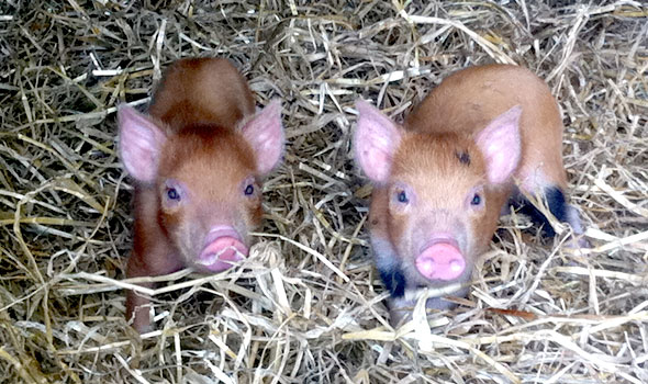 3-day-old-piglets