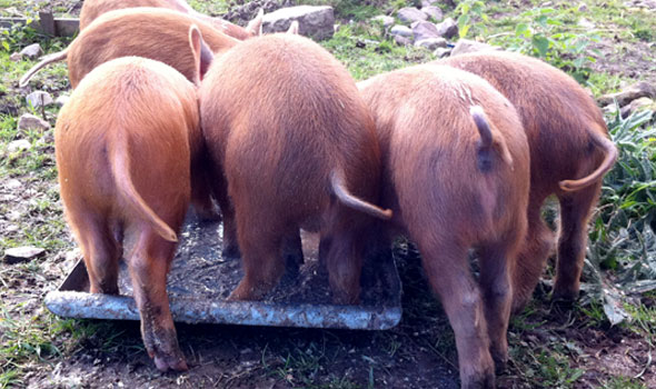 Piglet-trough. Netherton Farm
